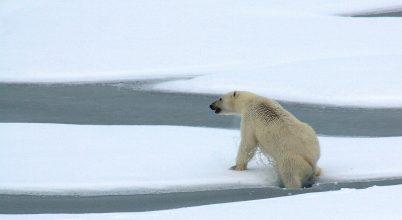 Ennyit csökkent a jegesmedvék élettere két évtized alatt