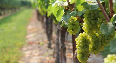 A szőlőültetvényeket is fenyegeti a klímaváltozás