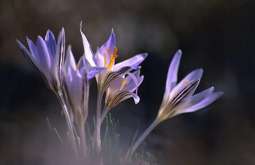 Virágzó tarka sáfrányok a Kiskunságban