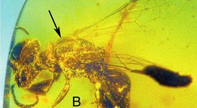 Borostyánba zárt pollengyűjtő ősi méh