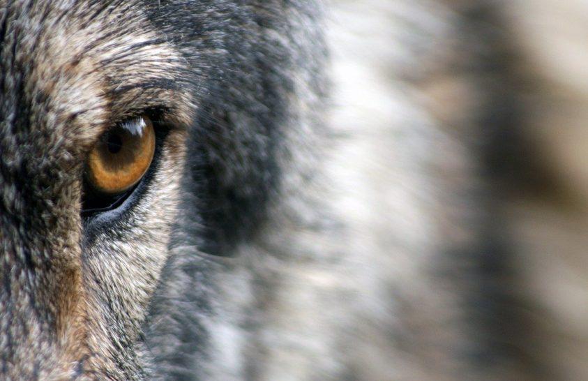 Elpusztult a kalandor farkas
