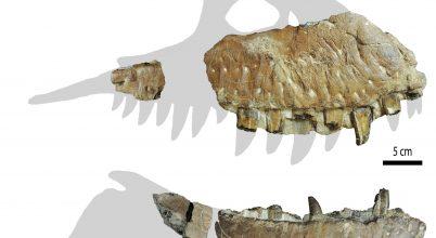 Újabb T. rex-rokon maradványaira bukkantak