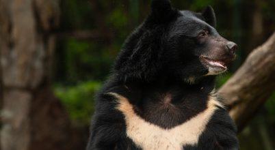 Kína nem ellenzi a medveepe koronavírus elleni használatát