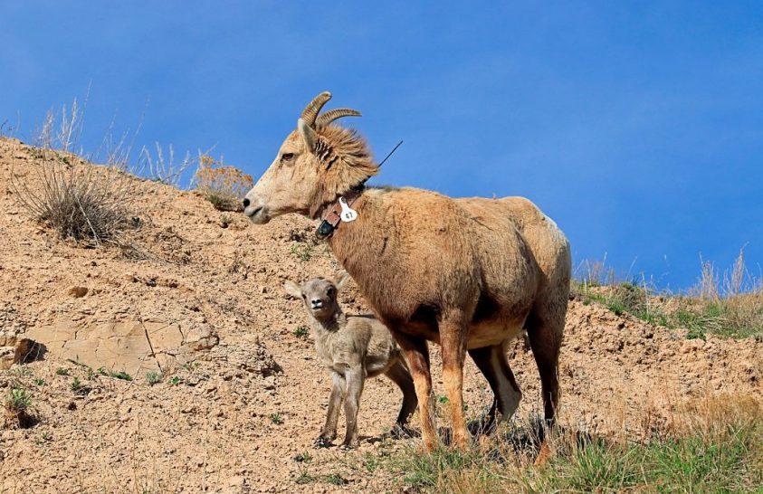 A vadon élő emlősök nőstényei hosszabb életűek, mint a hímek