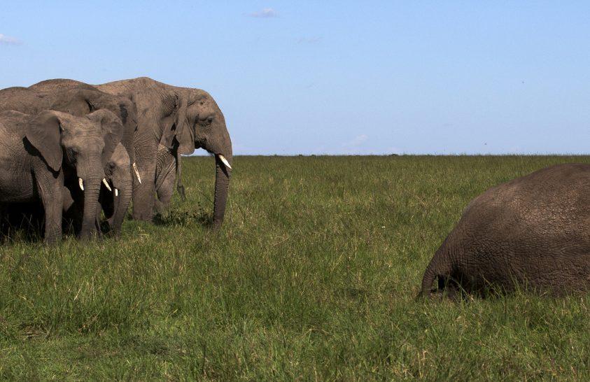 Az elefántok és halottaik kapcsolata