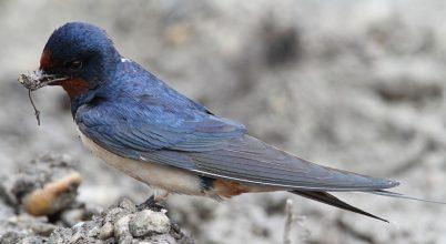 A Tibeti-fennsík alakította számos madár evolúcióját