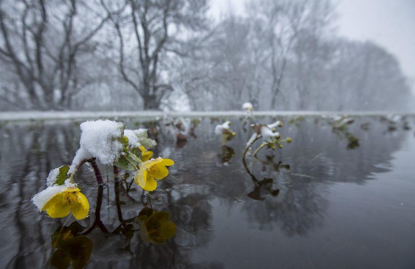 Lápok és mocsárrétek élénksárga tavaszi virága