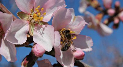 Valóban nincs szüksége méhekre az önbeporzó mandulának?