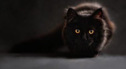 A koronavírussal fertőzött macska esete