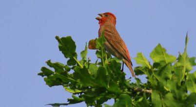 Egy szép tollazatú énekes madár