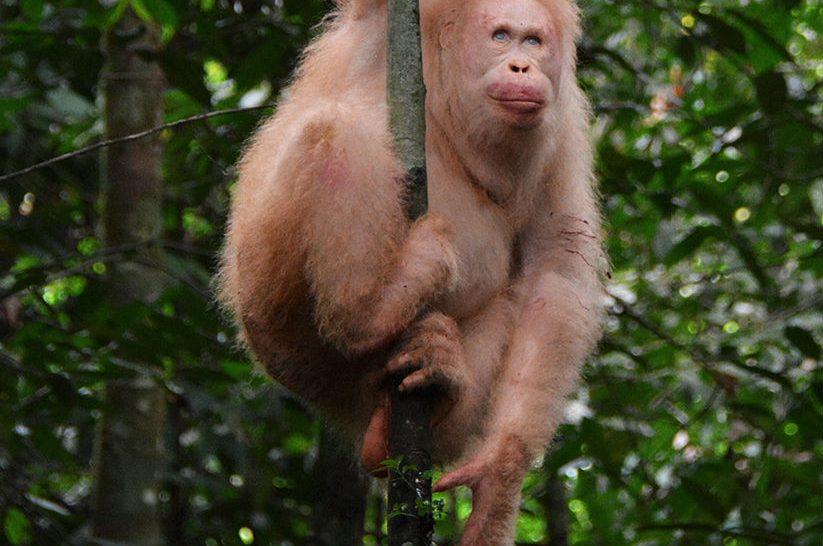 Jól érzi magát az egyetlen ismert albínó orangután a borneói esőerdőben