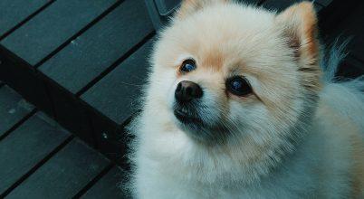Koronavírust mutattak ki egy kutyán