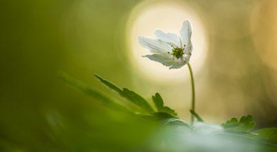 A nap képe: Szellőrózsa