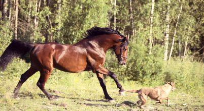Hasonlóan játszanak a lovak és a kutyák