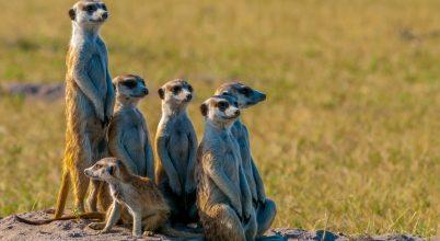 A szurikáták összetartó közösségei
