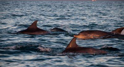 Egy ütemre füttyögnek a hím delfinek