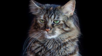 Tudjuk-e milyen érzelmeket rejtenek a macskák arckifejezései?
