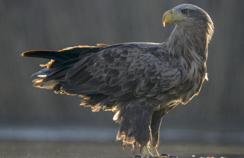 Sok ragadozó madár pusztult el mérgezésben