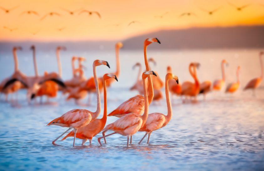 Baráti kapcsolatok a flamingók között