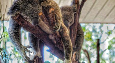 Így gyógyulnak a koalák Ausztráliában