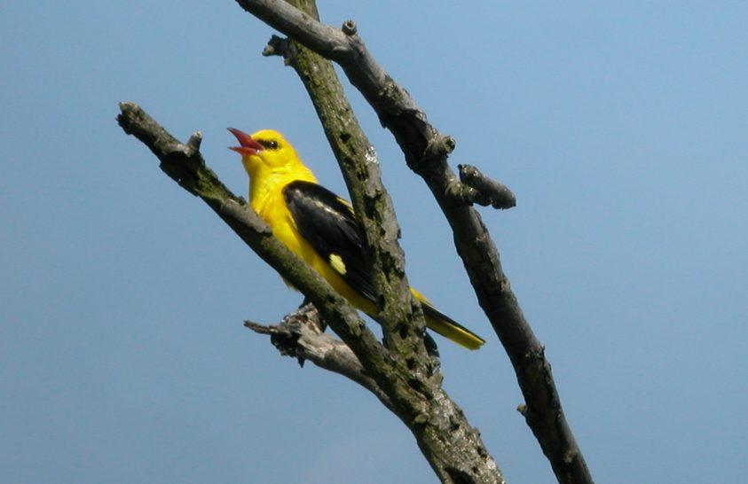 Későn érkező madaraink egyike a sárgarigó