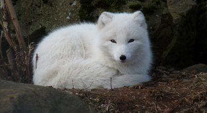 A skandináv sarki rókák védelmében