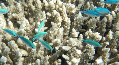 Így segíthetnek a Nagy Korallzátonyon