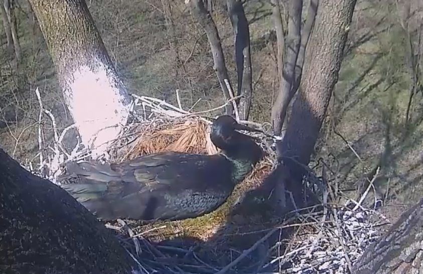 Gemenci hírek a fekete gólyapárról