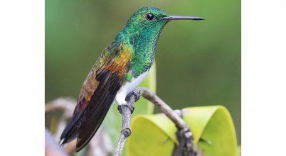 Mi történik a kolibrikkel, ha kidől egy fa?