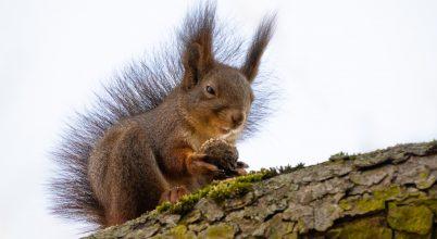A sunyi szemű mókus