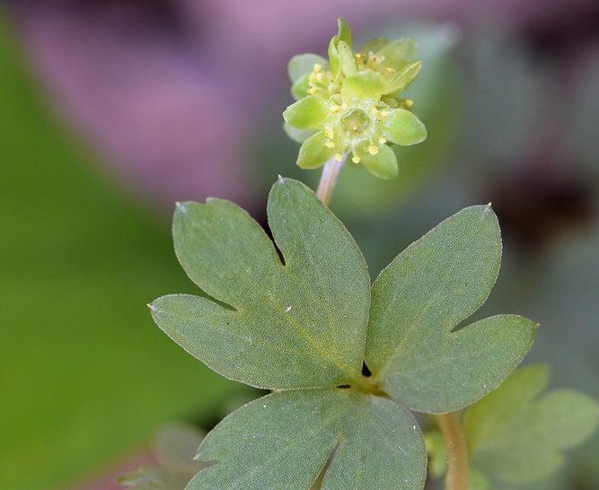 Törékeny kis virág: a pézsmaboglár
