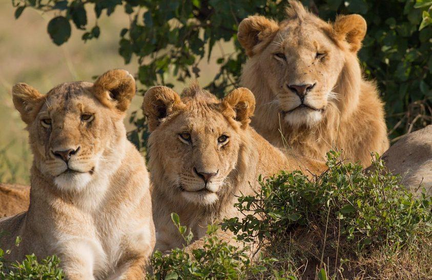 Feltárták az oroszlánok evolúciós múltját