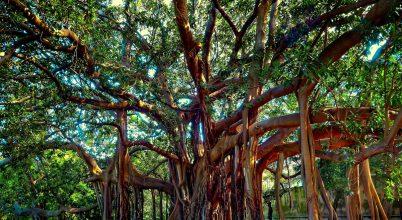 170 éves Ficus macrophylla Palermó Nemzeti Park