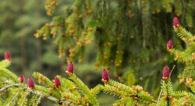 Fenyőfa virágzás