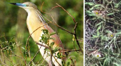 Áttörés a nádasban fészkelő madarak zavarásmentes felmérésében