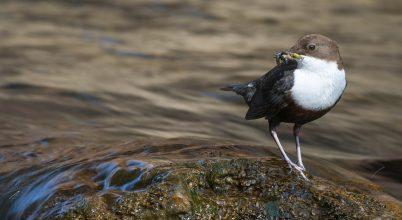 Parányi műanyagok a vízparti madarak szervezetében