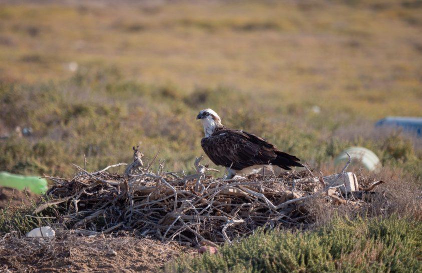Mikroműanyagok ragadozó madarak szervezetében