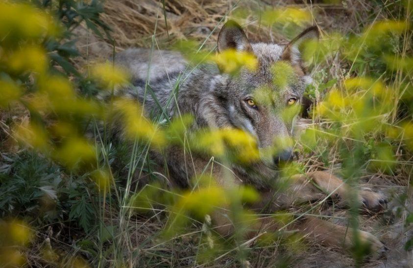 Kell-e félni a farkasoktól?