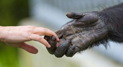 A genetikáról árulkodnak egy emberként nevelt csimpánz csontjai