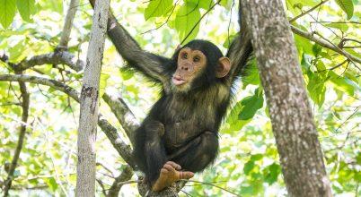 Csimpánzok cuppogása árulkodhat beszédünk eredetéről