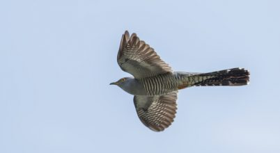 Óriási távot repült egy kakukk telelőhelyéről költőhelyére