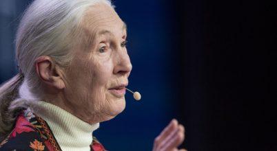 Jane Goodall mesél egy csimpánzcsaládról