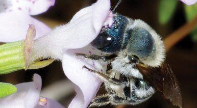 Kihaltnak vélt méhfajra bukkantak Floridában