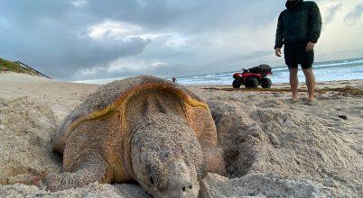 Zajlik a tengeri teknősök tojásrakása
