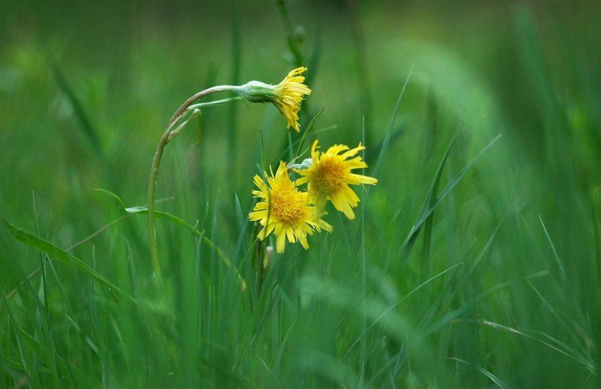 Fogyatkozó lápok növénye az alacsony pozdor