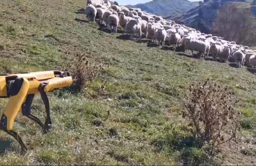 Robotkutya terelte a juhokat