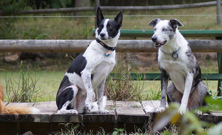 Ezek az ausztrál kutyák a koalamentést segítik