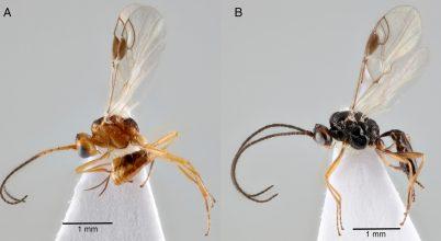 Egy parazita darázs segítheti a vegyszermentes rovarirtást