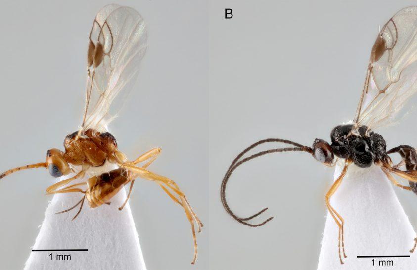 Megőrült hernyó: védelmezte a belőle kimászó parazitákat