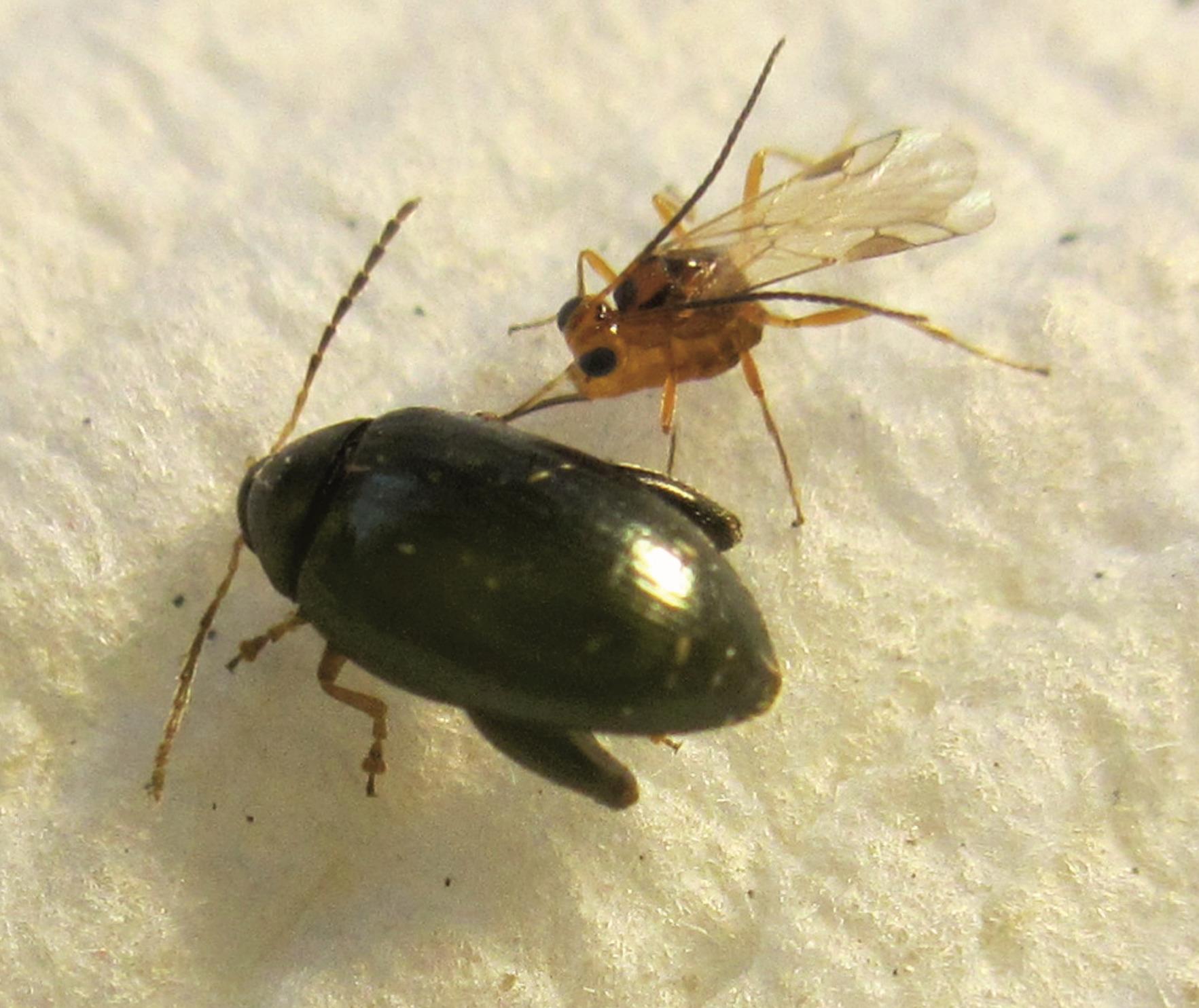 paraziták májusi bogarakban sok féreg emberben